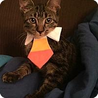 Adopt A Pet :: Porkchop - Addison, IL