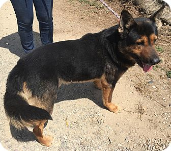 German Shepherd Dog/Rottweiler Mix Dog for adoption in San Diego, California - Jeremy