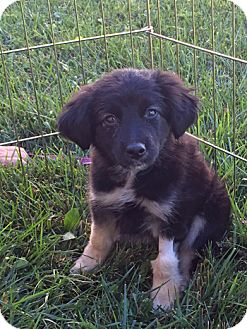 Border Collie/Shepherd (Unknown Type) Mix Dog for adoption in Lutherville, Maryland - Whitney