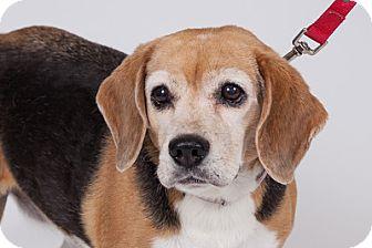 Beagle Dog for adoption in Jupiter, Florida - Betsy