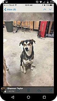 Siberian Husky/Nova Scotia Duck-Tolling Retriever Mix Dog for adoption in Cavan, Ontario - Nanook