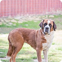 St. Bernard Dog for adoption in McKinney, Texas - Minnie