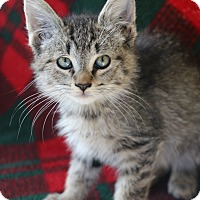 Domestic Shorthair Cat for adoption in Yucaipa, California - Andrea
