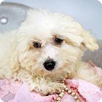 Adopt A Pet :: Willow - St. Louis Park, MN