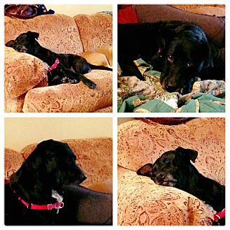 Labrador Retriever Mix Dog for adoption in Laingsburg, Michigan - Lexie the Lab