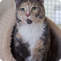Adopt A Pet :: Cuddles - Merrifield, VA