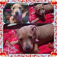 Adopt A Pet :: Dreamer meet me 1/20 - Manchester, CT
