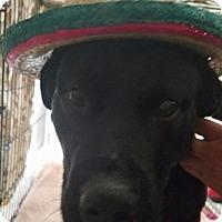 Adopt A Pet :: Gino - ST LOUIS, MO