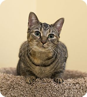 Domestic Shorthair Cat for adoption in Mooresville, North Carolina - A..  Bianca