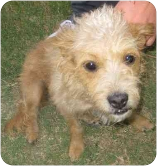 Terrier (Unknown Type, Small) Mix Dog for adoption in Los Alamitos, California - Molly