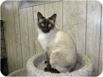 Siamese Cat for adoption in Bartlett, Illinois - Sean
