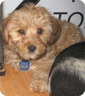 Maltese/Poodle (Miniature) Mix Puppy for adoption in Golden Valley, Arizona - Skeeter
