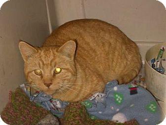 Domestic Shorthair Cat for adoption in Walnut, Iowa - Garfield