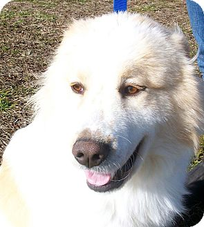 Great Pyrenees Dog for adoption in Princeton, Kentucky - Thor