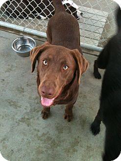 Labrador Retriever Dog for adoption in Phoenix, Arizona - Mikey