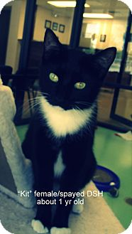 Domestic Shorthair Cat for adoption in Gadsden, Alabama - Kit