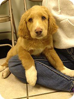 Kris | Adopted Puppy | Russellville, KY | Golden Retriever ...