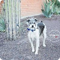 Adopt A Pet :: Okie - Scottsdale, AZ