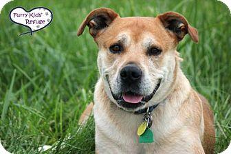 Labrador Retriever/Boxer Mix Dog for adoption in Lee's Summit, Missouri - Suzy-Q