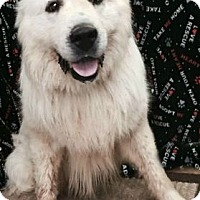 Great Pyrenees Dog for adoption in Rockaway, New Jersey - Zero KY