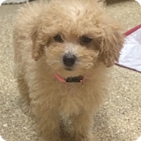 Adopt A Pet :: Apricot poodles - Fairview Heights, IL