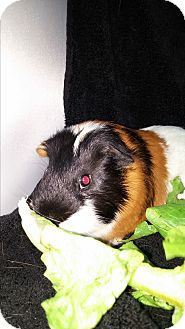 Guinea Pig for adoption in Aurora, Colorado - Richuu