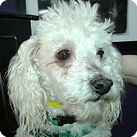 Adopt A Pet :: Beckham - Thousand Oaks, CA
