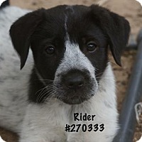 Adopt A Pet :: RIDER - Conroe, TX