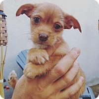Adopt A Pet :: Yoki - Bakersfield, CA