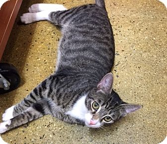 Domestic Shorthair Cat for adoption in Los Angeles, California - Ceryl