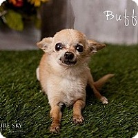 Adopt A Pet :: Buffy - Mesa, AZ