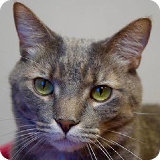 Domestic Shorthair Cat for adoption in Des Moines, Iowa - Felix