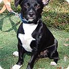 Adopt A Pet :: Bingo (17 lb) A Sweet Pea!