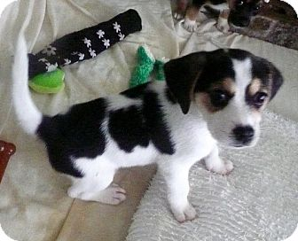 Beagle Mix Puppy for adoption in Portsmouth, New Hampshire - Chickfila-adoption pending