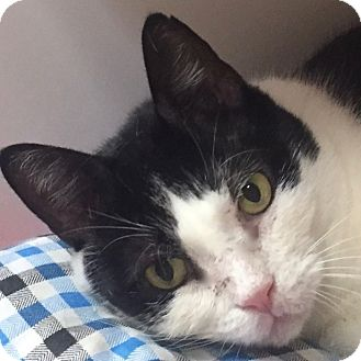 Domestic Shorthair Cat for adoption in Norwalk, Connecticut - Frijole