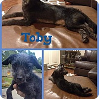 Adopt A Pet :: Toby meet me 10/14 - Manchester, CT