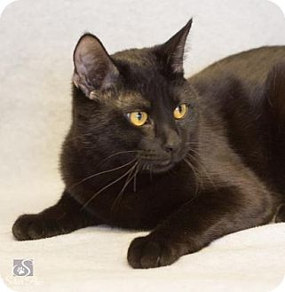 Domestic Shorthair Cat for adoption in Fort Collins, Colorado - Knight