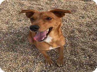 Vizsla/Labrador Retriever Mix Dog for adoption in Lacombe, Louisiana - RED