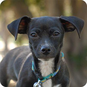 Dachshund/Chihuahua Mix Dog for adoption in Milan, New York - Rupert