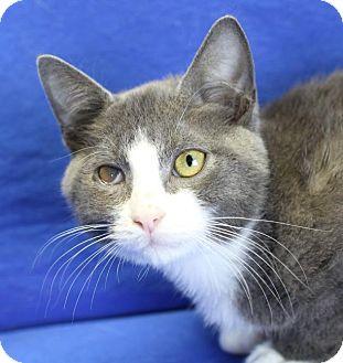 Domestic Shorthair Kitten for adoption in Winston-Salem, North Carolina - Stirling