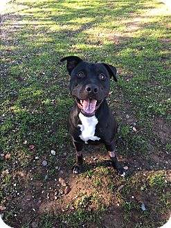 Pit Bull Terrier/Labrador Retriever Mix Dog for adoption in Chico, California - Malibu