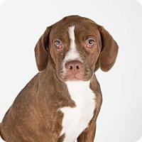 Adopt A Pet :: Carly - St. Louis Park, MN