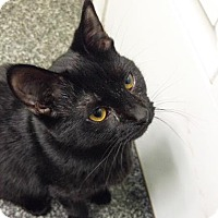 Domestic Shorthair Cat for adoption in Norfolk, Virginia - Wiggles