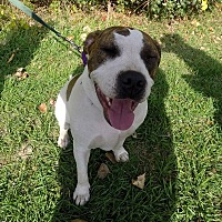 American Bulldog/Terrier (Unknown Type, Medium) Mix Dog for adoption in Detroit, Michigan - Hope - Foster Needed