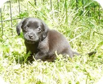 Dachshund/Chihuahua Mix Puppy for adoption in Spring Valley, New York - Rory