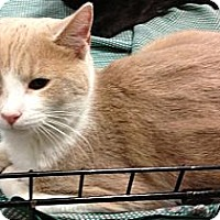 Domestic Shorthair Kitten for adoption in Pittstown, New Jersey - Duncan