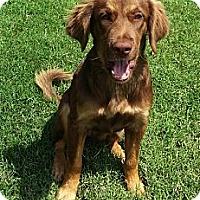 Adopt A Pet :: *Becca - PENDING - Westport, CT