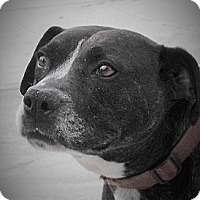 Pointer/Pit Bull Terrier Mix Dog for adoption in Santa Ana, California - Coco (JR)