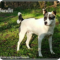Terrier (Unknown Type, Medium)/Akita Mix Dog for adoption in Simpsonville, South Carolina - Bandit