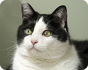 Domestic Shorthair Cat for adoption in Blackstock, Ontario - Franklin